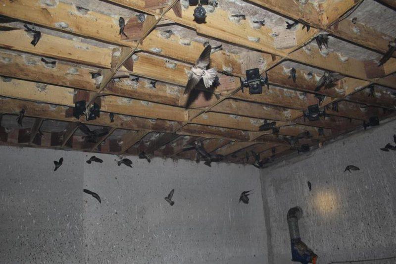 Gỗ bạch tùng làm nhà nuôi chim yến