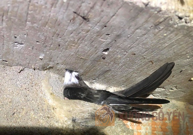 Nguyên nhân khiến nhà yến bị mất nhiều chim